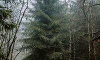 Marszałek Piotr Całbecki osobiście wybrał choinkę w lesie pod Raciniewem, fot. Łukasz Piecyk dla UMWKP